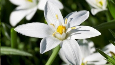 freeing-yourself-from-traumas-with-the-help-of-the-star-of-bethlehem-floral-essence