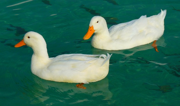 meaning-of-dreaming-about-ducks