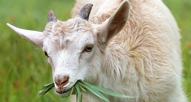 meaning-of-dreaming-about-goats