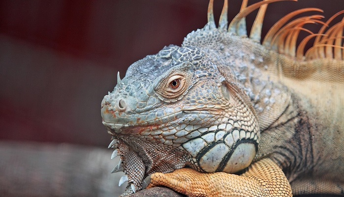 what-does-it-mean-to-dream-of-iguanas