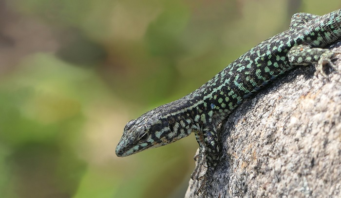 what-does-it-mean-to-dream-of-lizards