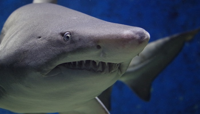 meaning-of-dreaming-about-sharks