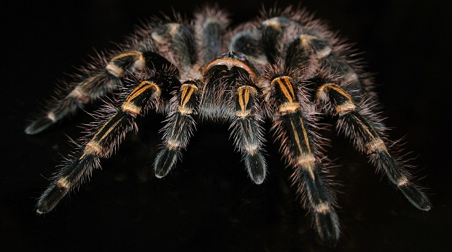 meaning-of-dreaming-about-tarantulas