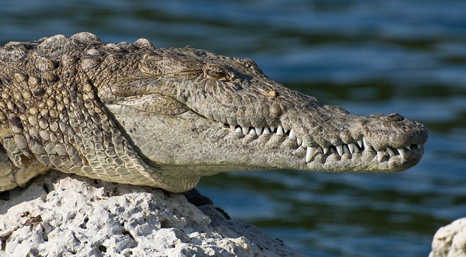 what-does-it-mean-to-dream-of-crocodiles
