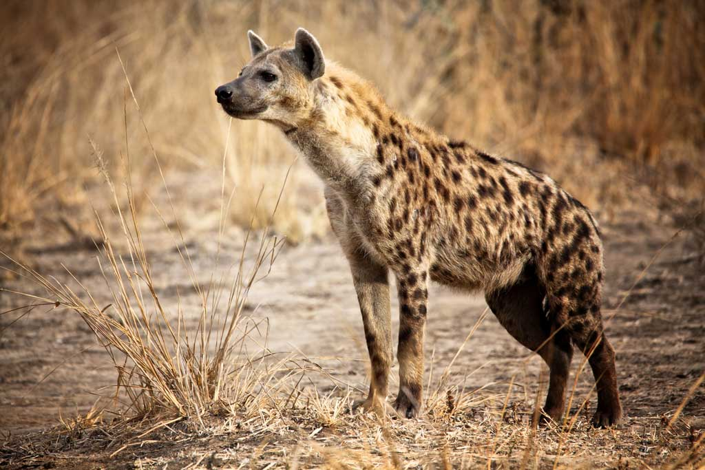 what-does-it-mean-to-dream-of-hyenas