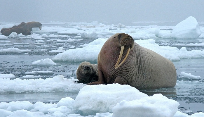 what-does-it-mean-to-dream-of-walruses
