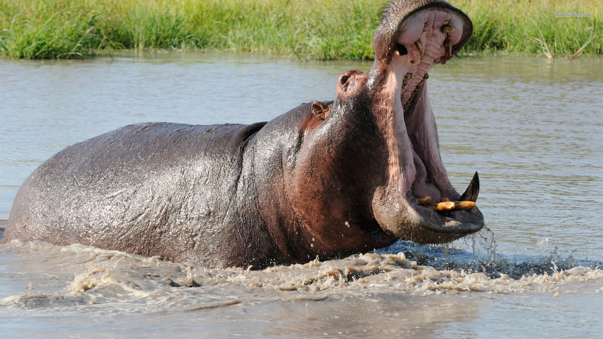 what-does-it-mean-to-dream-of-hippos