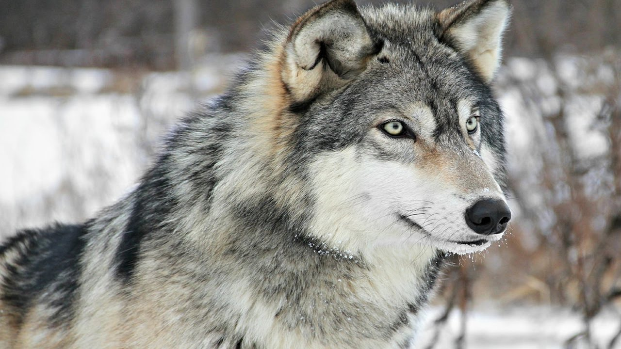 meaning-of-dreaming-about-wolves