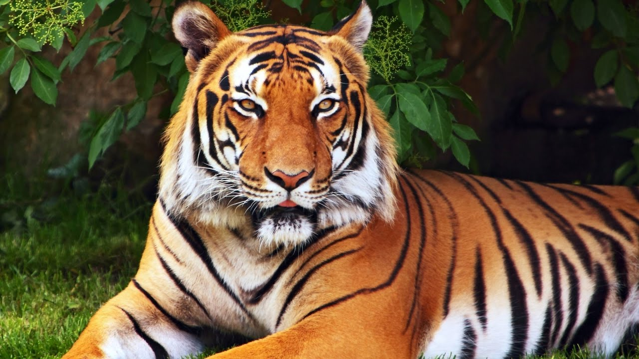 meaning-of-dreaming-about-tigers