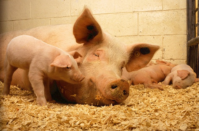 meaning-of-dreaming-of-pigs