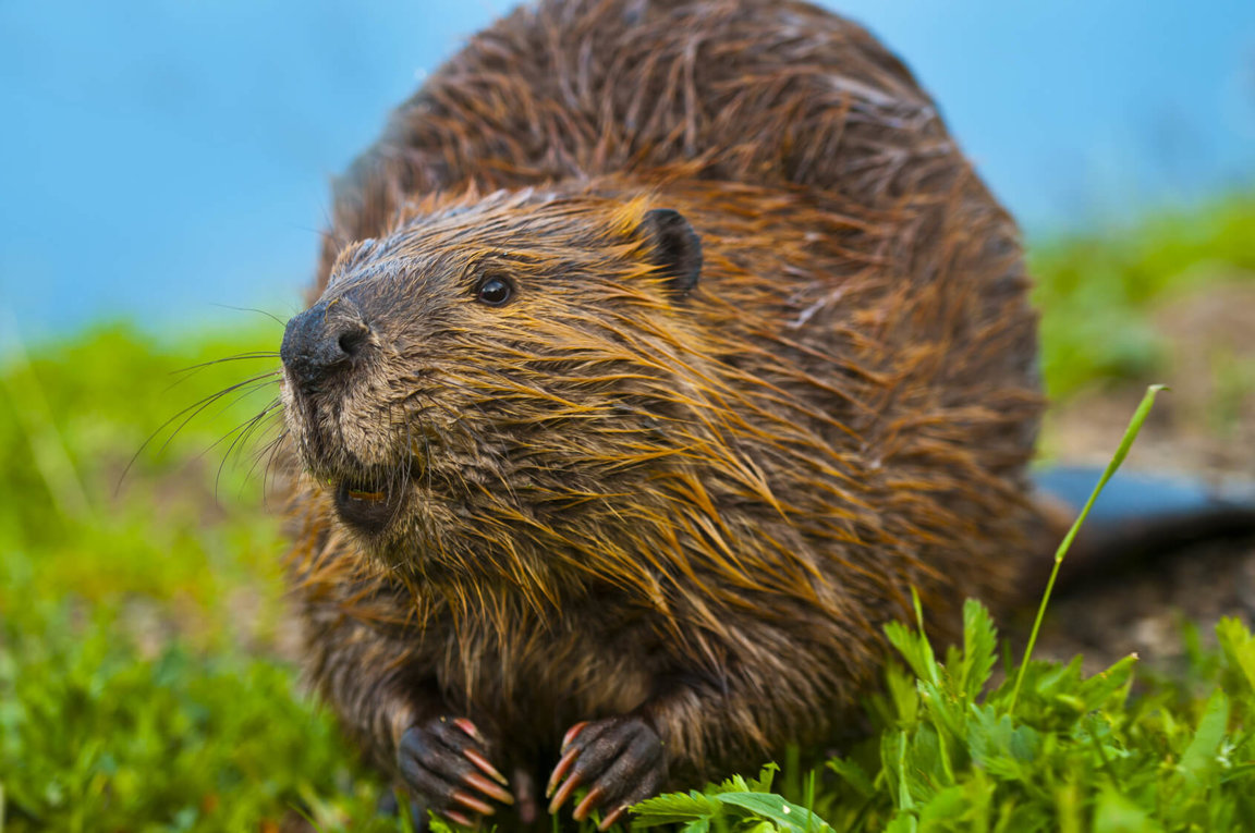 what-does-it-mean-to-dream-about-beaver