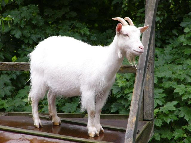 what-does-it-mean-to-dream-about-goat