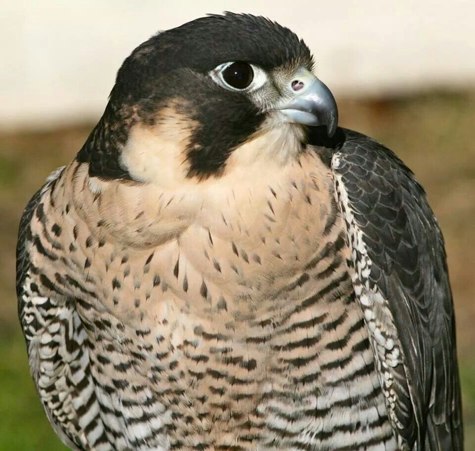 falcon-spirit-animal-symbolism-and-meaning