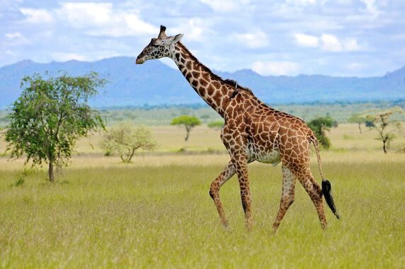 giraffe-symbolism-and-meaning