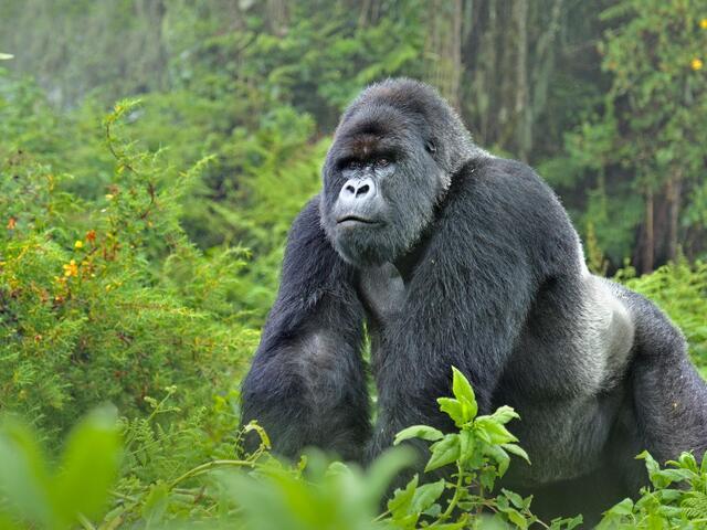 gorilla-symbolism-meaning