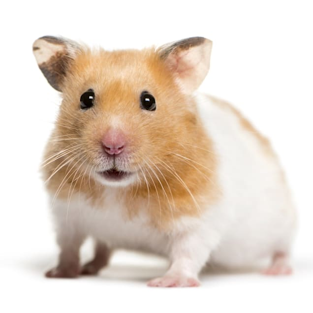 hamster-symbolism-and-meaning
