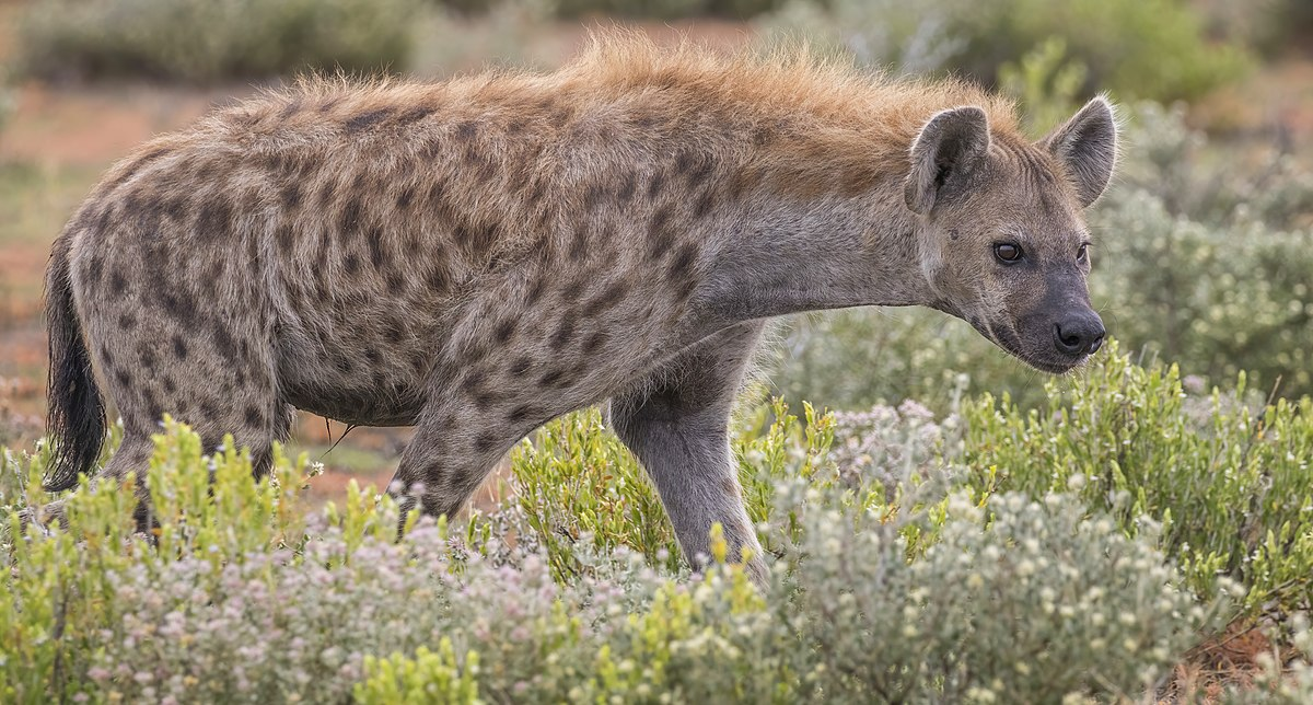 hyena-symbolism-and-meaning