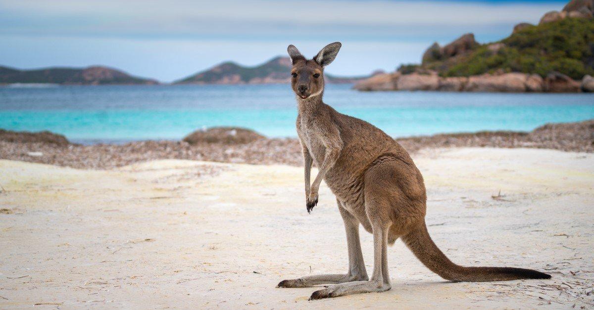 kangaroo-symbolism-meaning
