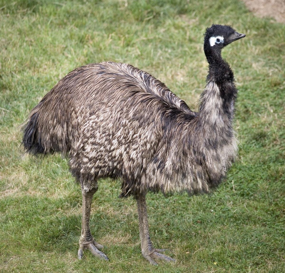 ostrich-emu-symbolism-meaning