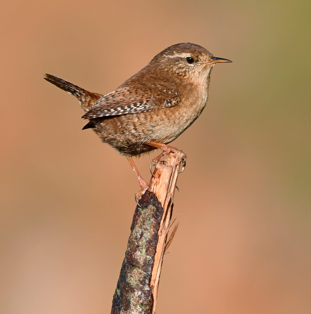wren-symbolism-and-meaning