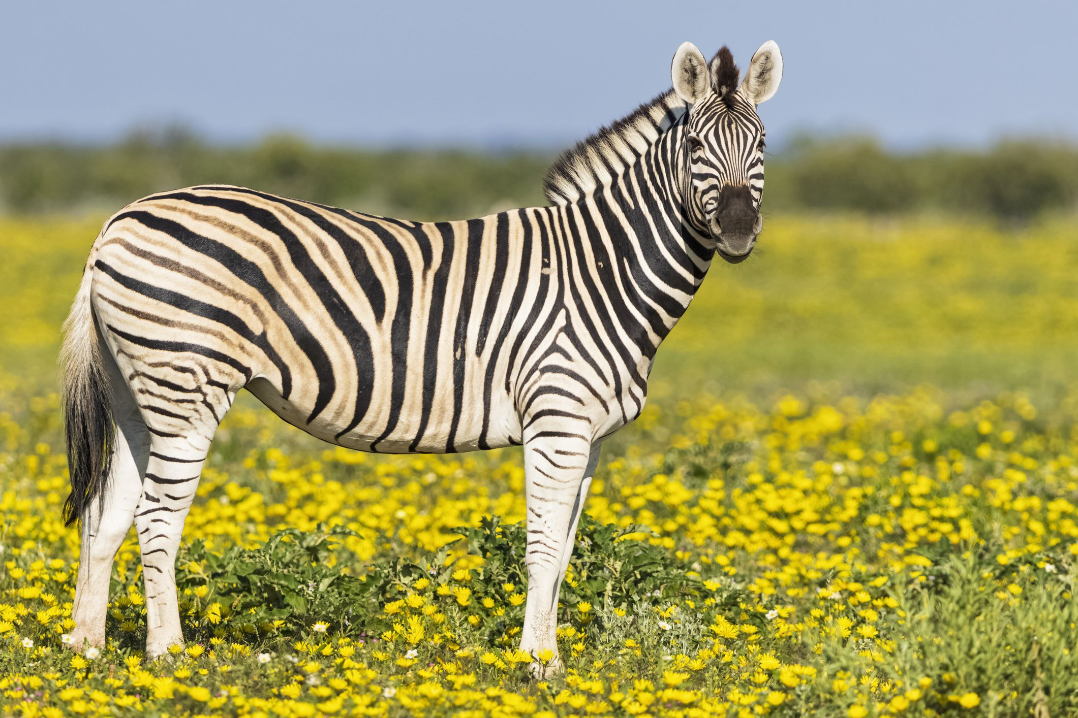 zebra-significance-and-meaning