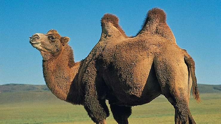 what-does-it-mean-to-dream-about-camel