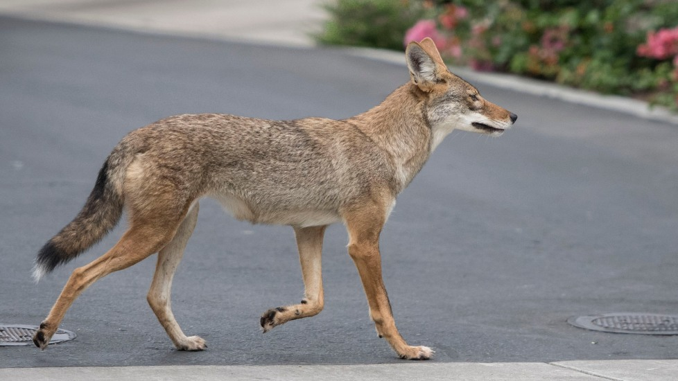 what-does-it-mean-to-dream-about-coyote
