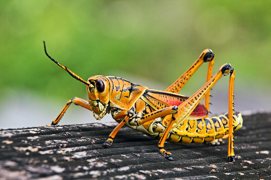 what-does-it-mean-to-dream-about-grasshopper
