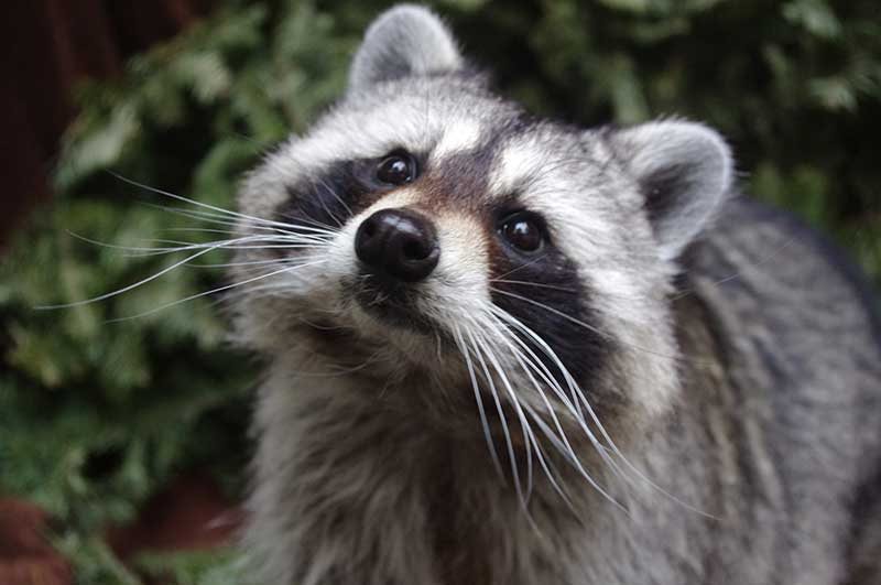 what-does-it-mean-to-dream-about-raccoon